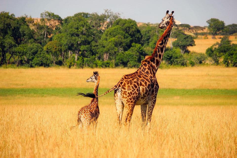 giraffe-2064520_960_720